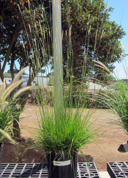 Pennisetum spathiolatum