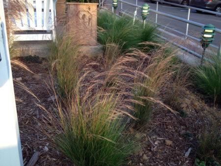 Aristida purourea Purple Threeawn Grass