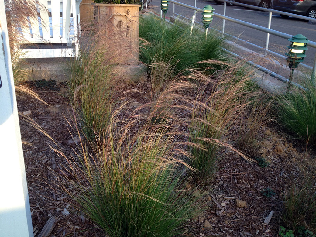 Purple Three-awn Grass - Green Meadow Growers
