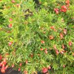 1-Punica Dwarf Pomegranate