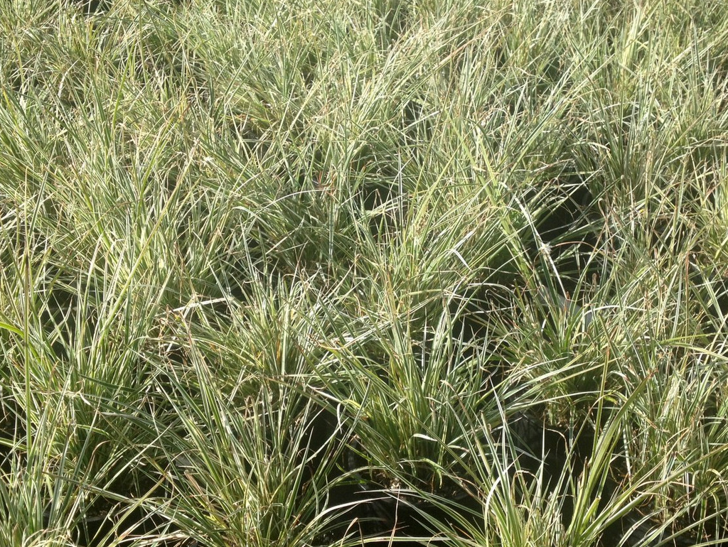 Variegated grass lily green meadow growers for Variegated grass plant