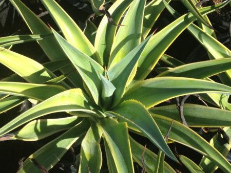 Agave desmettiana variegata