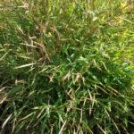 Pogonatherum paniceum Baby Bamboo