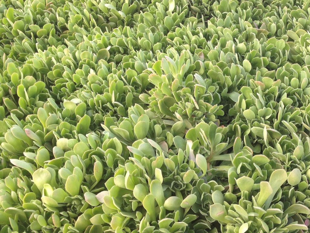 Aeonium urbicum Side Salad