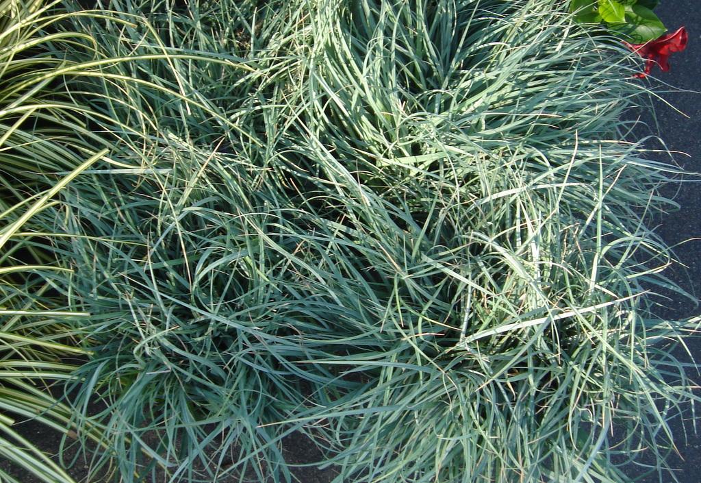 Carex glauca