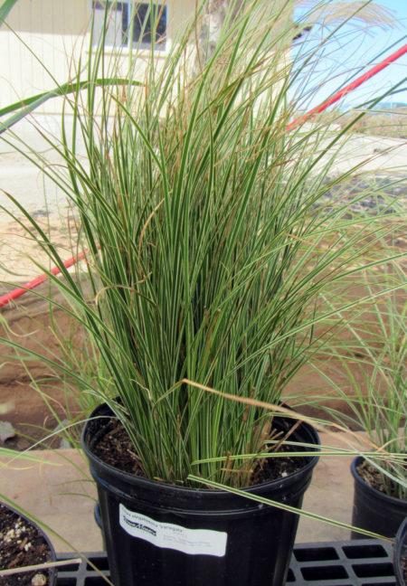 Carex elegantissima