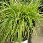 Alopecurus Golden Meadow Foxtail