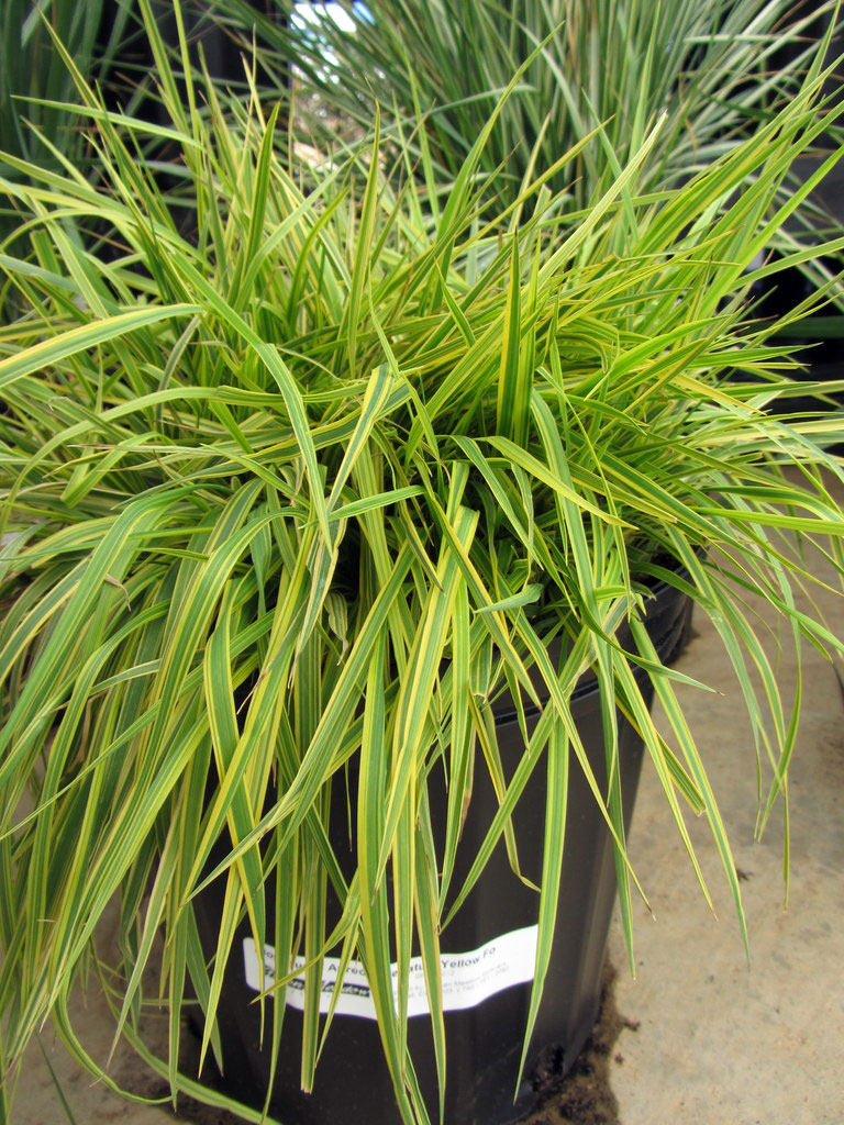 Alopecurus Golden Meadow Foxtail