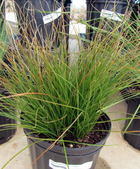 Carex testacea Orange Sedge