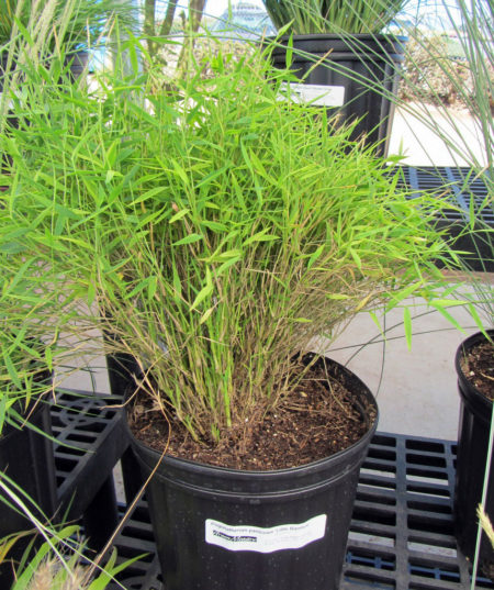 Pogonatherum Baby Bamboo