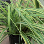 Carex trifida rekohu Sunrise