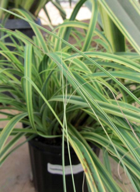 Carex trifida rekohu Sunrise