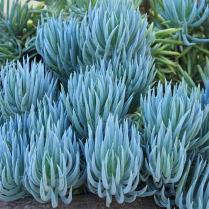 Blue-Chalk-Senecio-Mandraliscae- (002)