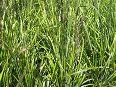 Calamagrostis acutiflora El Dorado