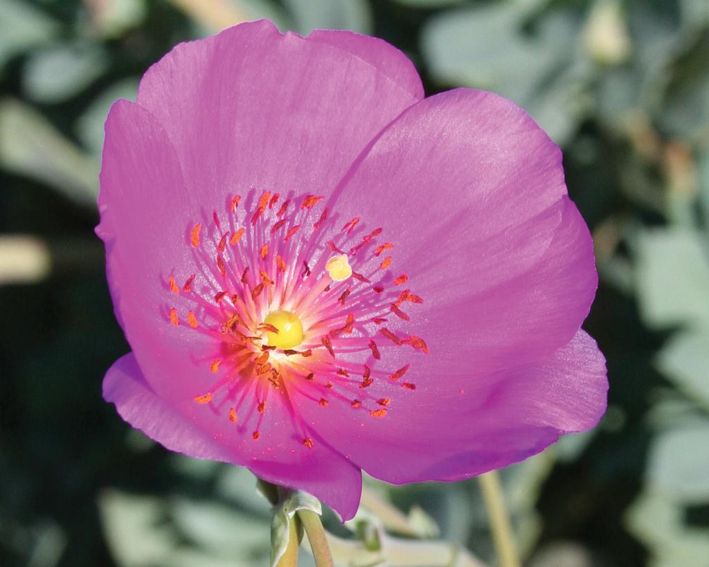 Calandrinia hybrid Shining Pink