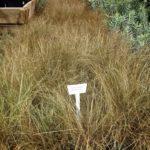 Carex-comans-Bronze-Form