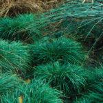 Carex-divulsa-Berkley-Sedge