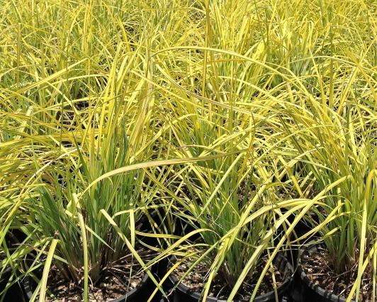 Carex elata Aurea Bowles Golden 1g