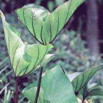 Colocasia-esculenta-Coffee-Cups