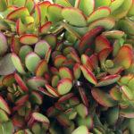 Crassula-ovata-arborescens-Baby-Jade