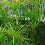 Cyperus_alternifolius