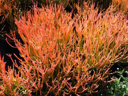 Euphorbia tirucali Firesticks