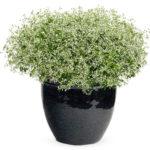 Euphorbia-diamond-frost