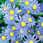 Felicia-hybrid-Cape-Town-Blue