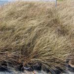 Carex flagellifera Toffee Twist