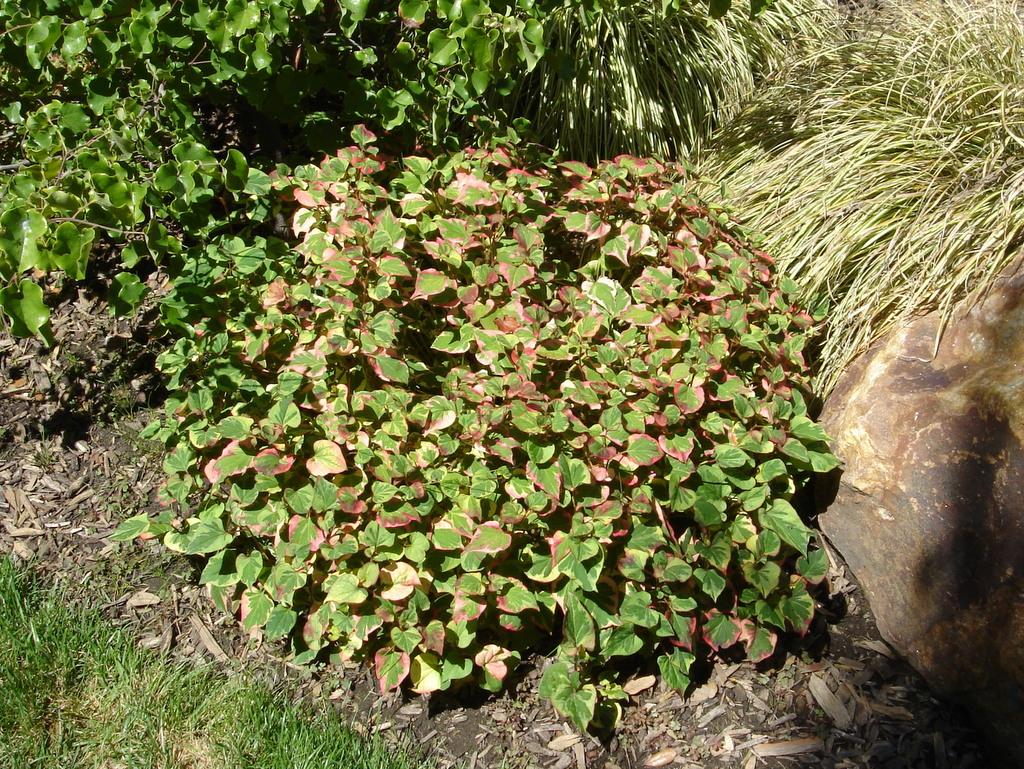 Houttuynia Chameleon Plant