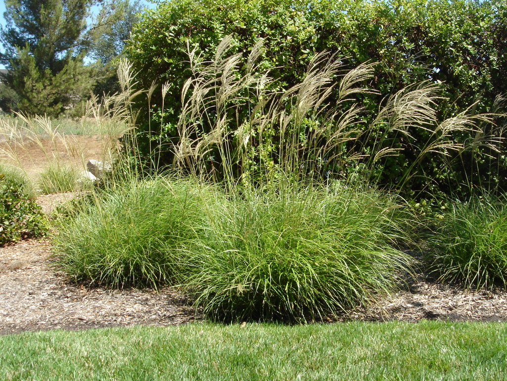 Evergreen miscanthus green meadow growers for 6 foot tall ornamental grass