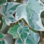 Hedra helix Glacier Ivy