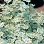 Helichrysum-petiolare-Licorice-Splash