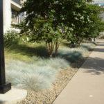 Helictotrichon sempervirens 'Blue Oat Grass'