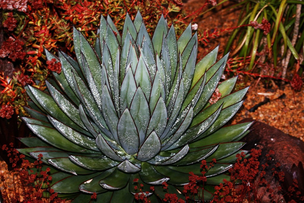 Agave BlueGlow