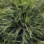 Carex Everest