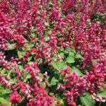 Salvia splendens Saucey Red