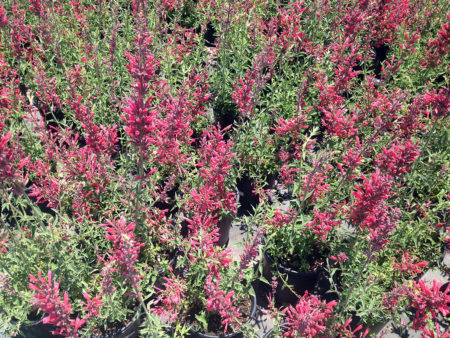 Agastache Nector Raspberry