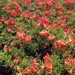 Tecoma hybrid Bells of Fire