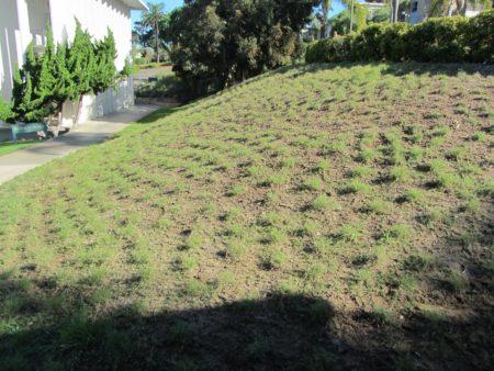 Buchloe UC Verde Buffalo Grass