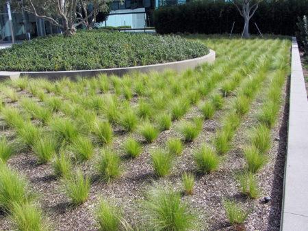 Nassella tenuissima Mexican Feather Grass