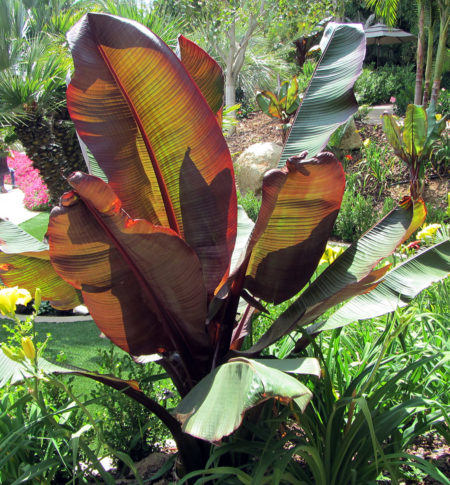 Ensete Red Banana