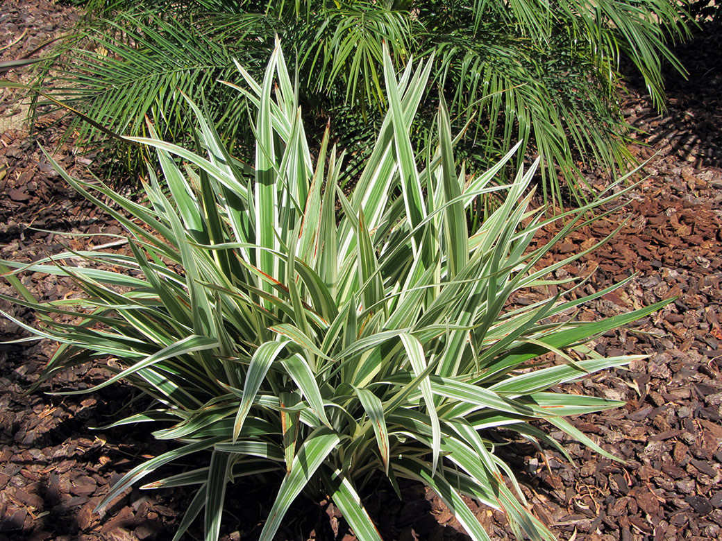 Variegated flax lily green meadow growers for Variegated grass plant