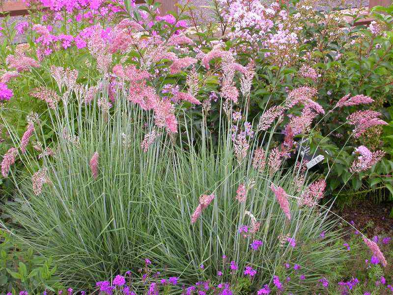 Pink champagne ruby grass green meadow growers pink champagne ruby grass mightylinksfo