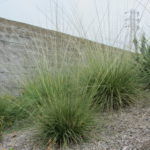 Muhlenbergia Deer Grass 1