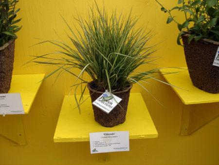 Calamagrostis El Dorado