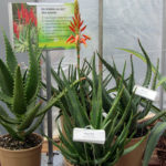 Aloe hybrid Blooming Aloes Always Red