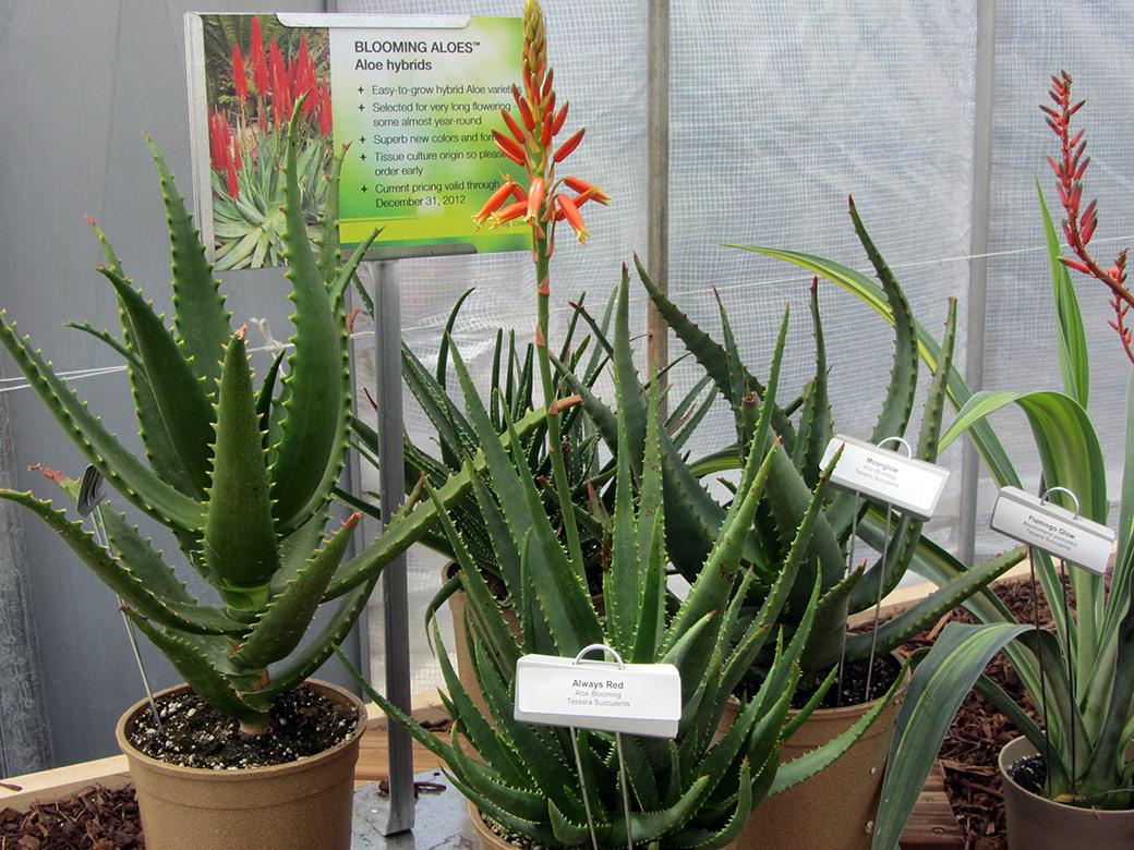 Aloe hybrid Blooming Aloes Always Red