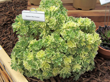 Aeonium Mini Tricolor 2