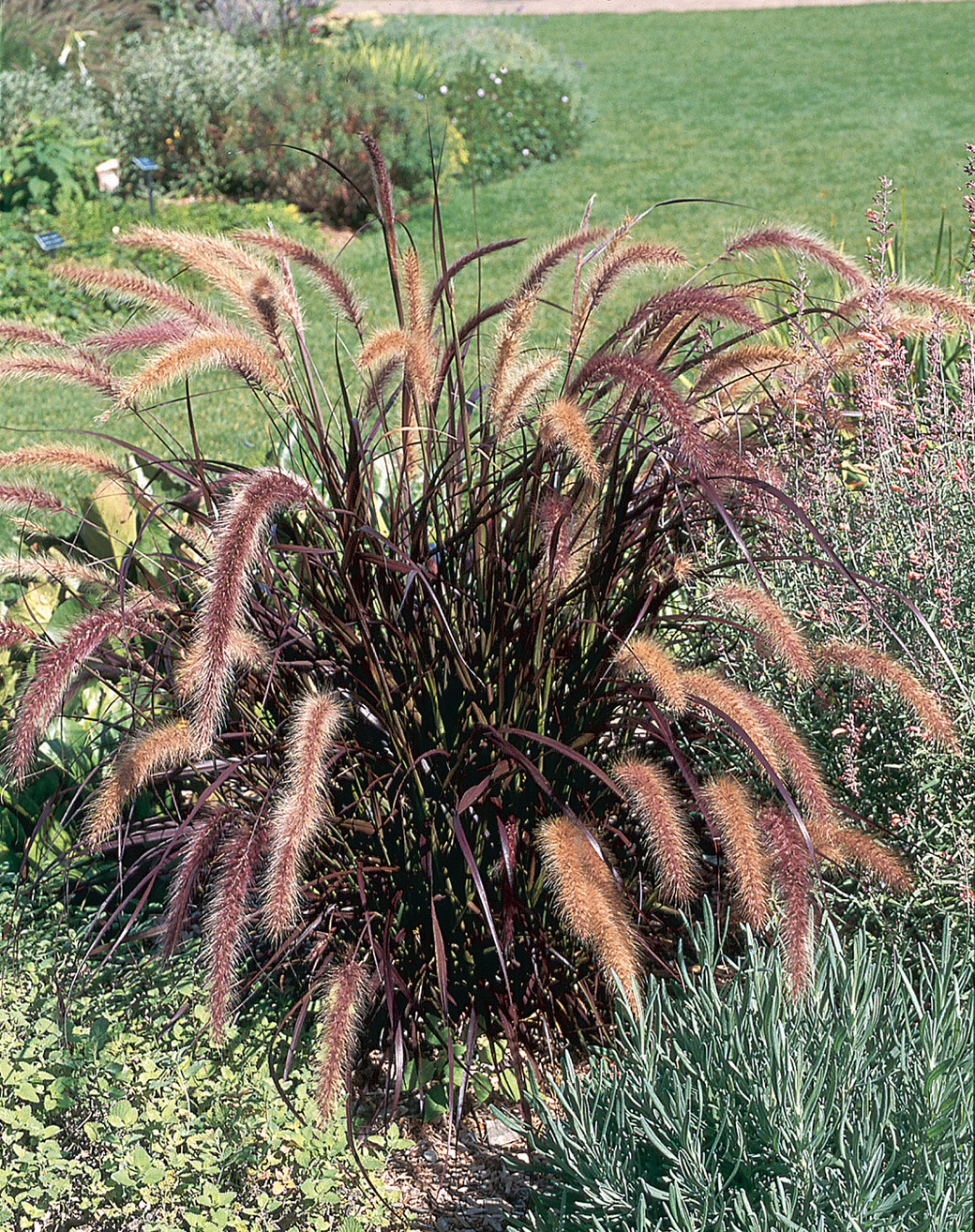 Rubrum purple fountain grass green meadow growers for Fountain grass